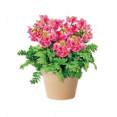 MAULWURFSCHRECK: Incarvillea Pflanze (5 Stück)-2