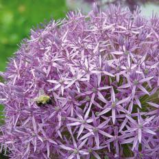 Maulwurfschreck-Pflanze 10 Zwiebeln-2