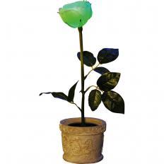Solar-Rose im Topf-2