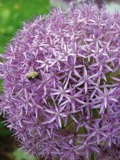 Maulwurfschreck-Pflanze 5 Zwiebeln-2