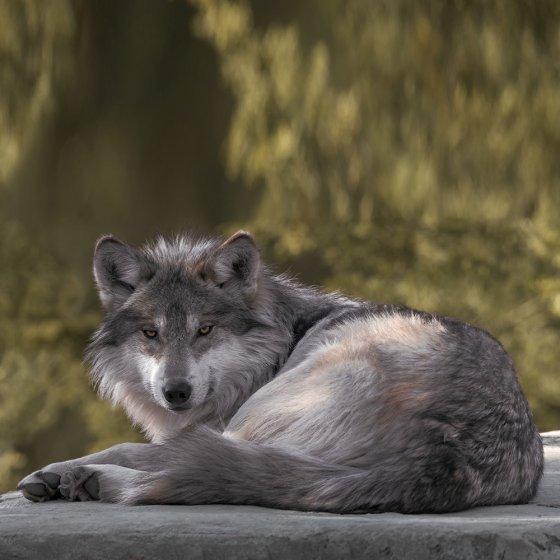 """Fellimitat-Wohndecke """"Wolf"""""""